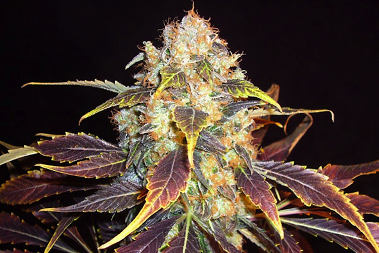 White Berry - Strain Information - Cannabis.info